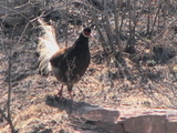 Brown Eared Pheasant