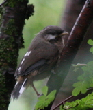 Snowy-cheeked Laughingthrush